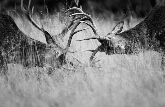 Red Deer Stags sparring