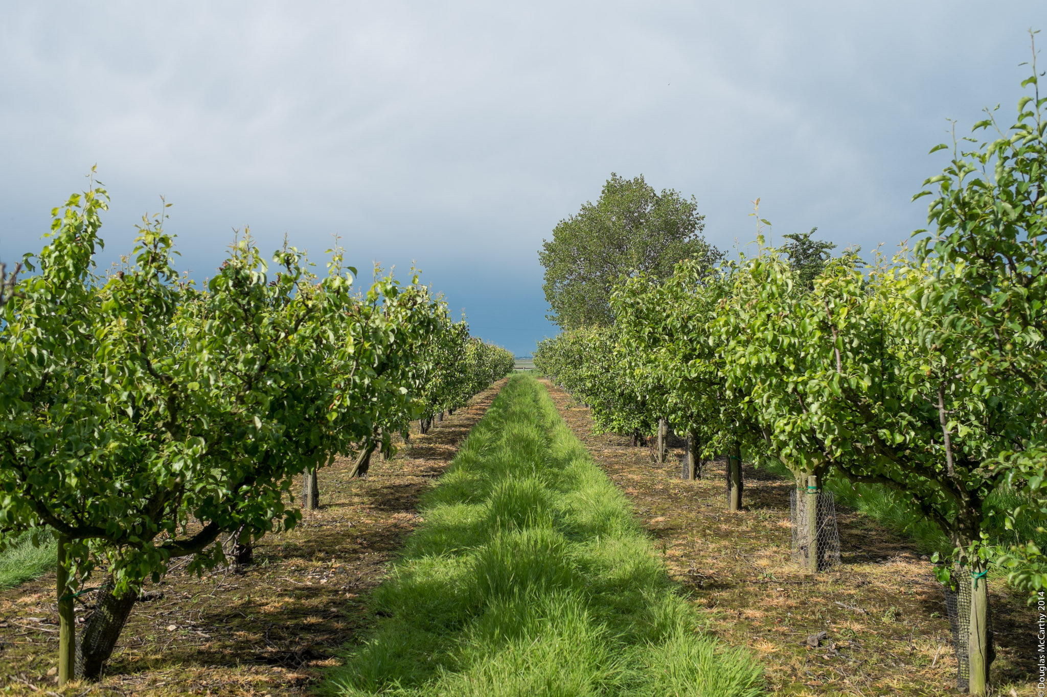 Orchard, Upchurch Peninsula, Kent