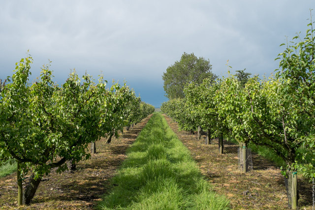 Orchard, Upchurch Peninsula, Kent