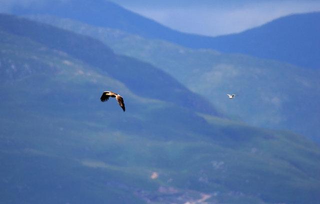 White-tailed Sea Eagle (and seagull)