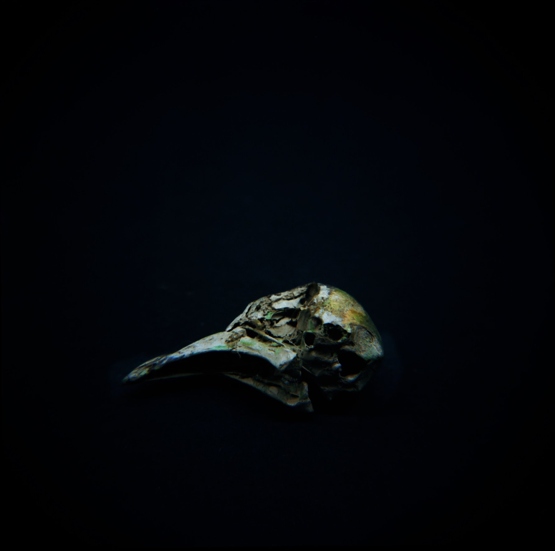 Skull, Passenger Pigeon (<i>Ectopistes migratorius</i>), Holga 120N, Kodak Ektar 100, 2015