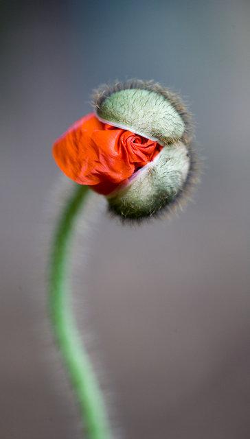 Spiral Poppy