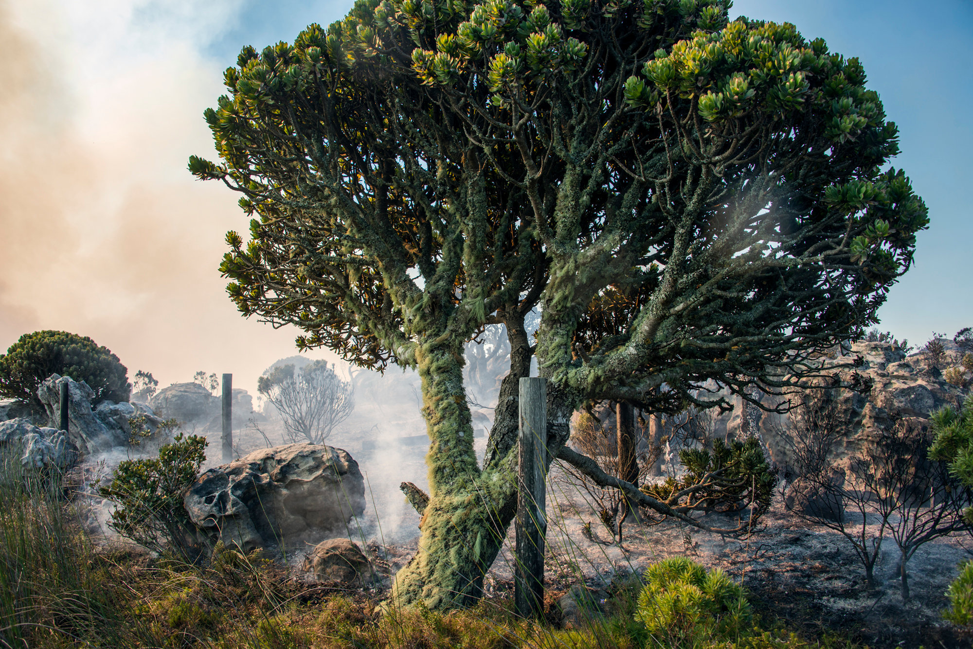 The Lichen Tree II