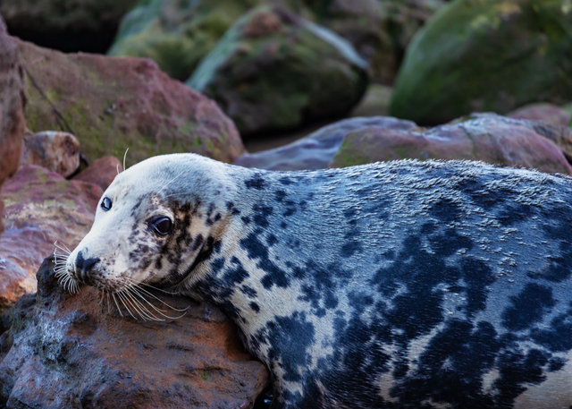 Seal at Ravenscar