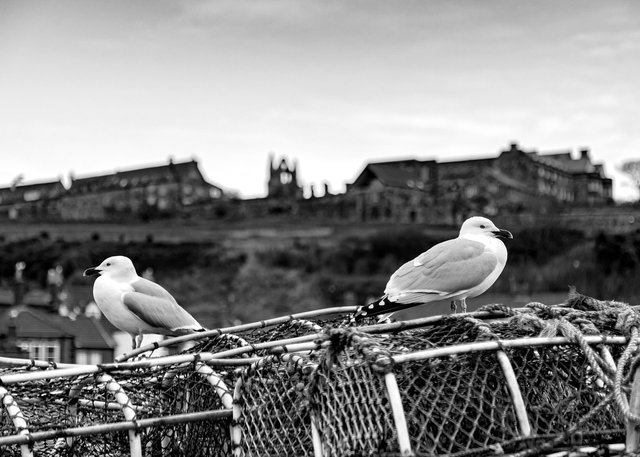 Whitby's Seagulls