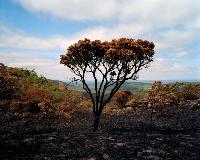 Tree at the Sertão # 1