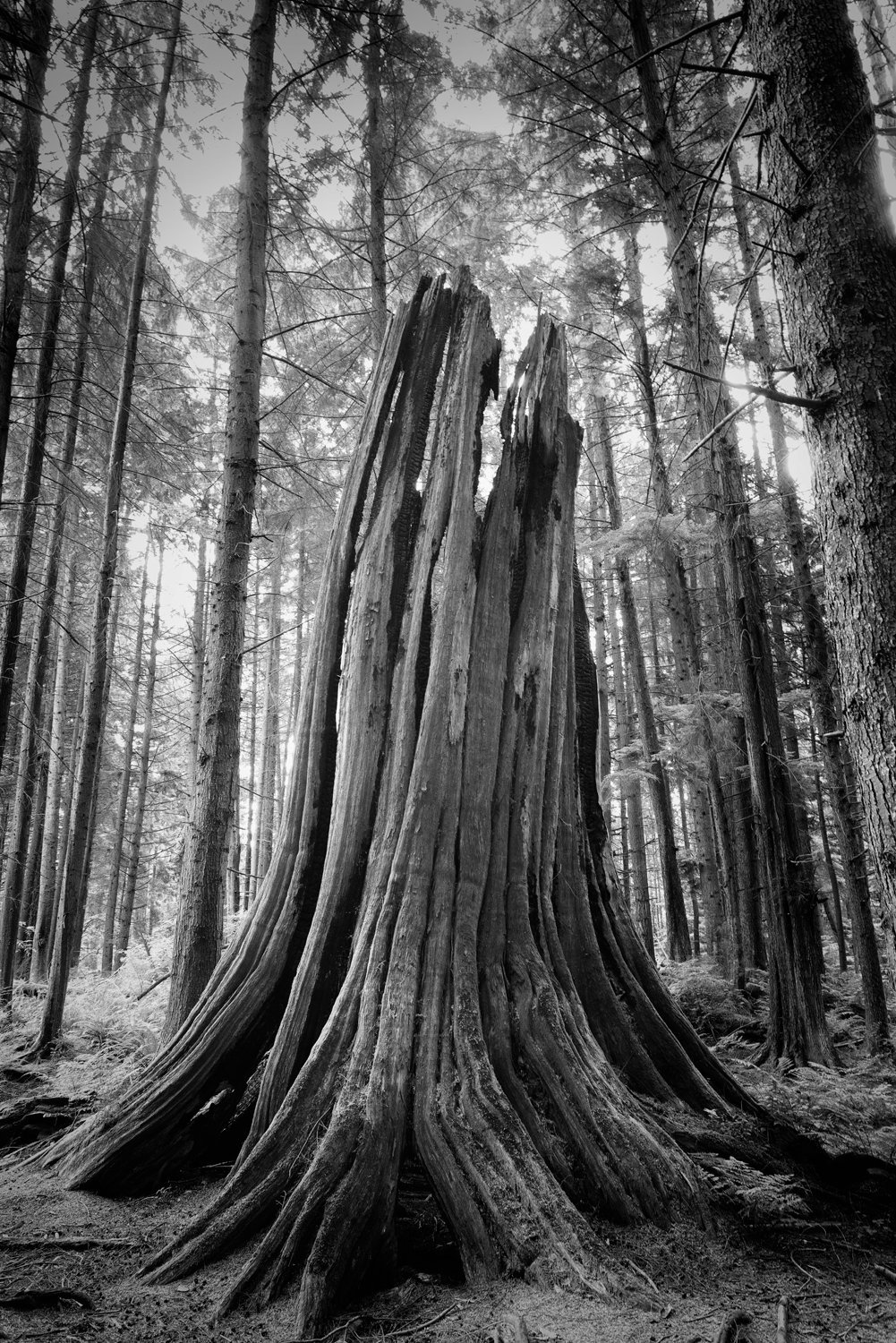 Great Stump01 (1).jpg