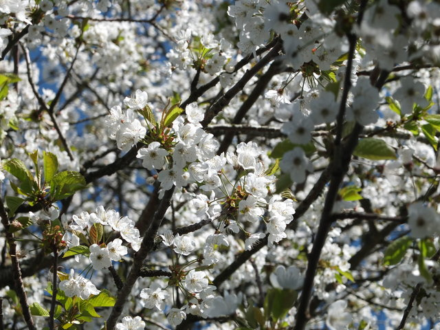 White Blossom 2 by Alison Gracie