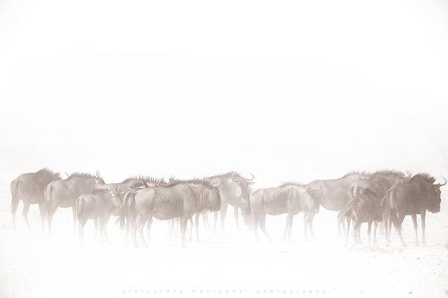 AMeniconzi_Namibia_Etosha_Blue_Wildebeest_9984tk.jpg
