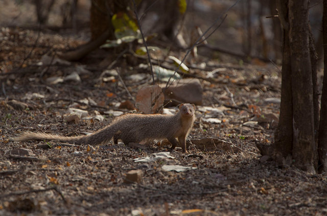 Common Indian Mongoose