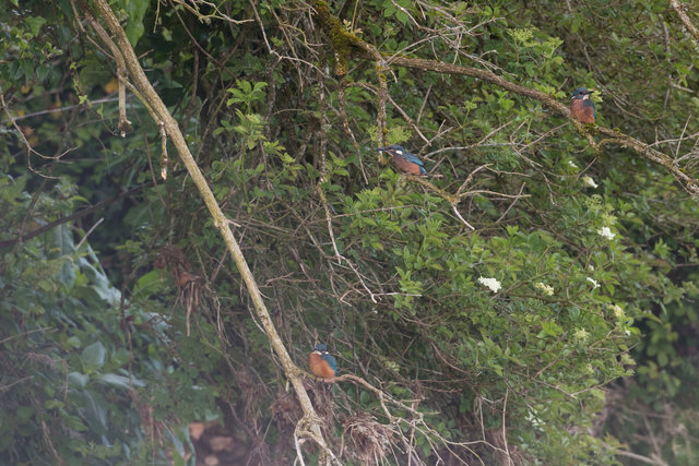 Newly fledged kingfishers