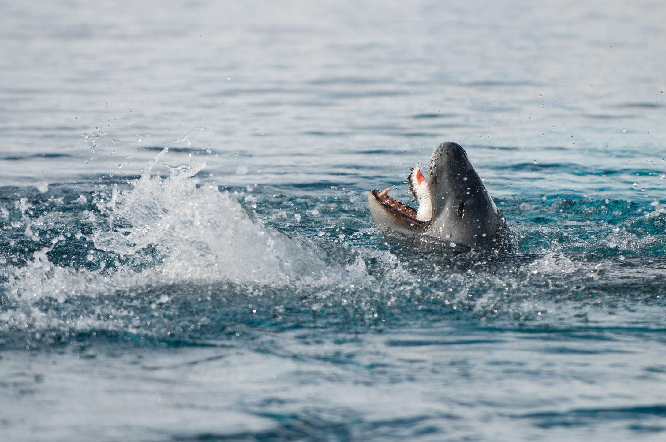 Leapord Seal feeding-Neko Harbour Antarctica.jpg