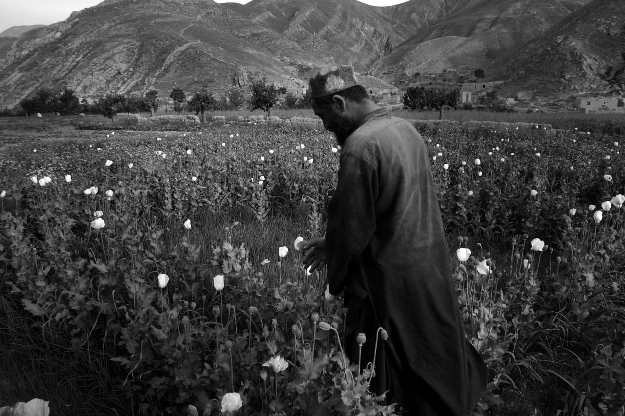 Afghanistan - champ de pavots destinés au trafique