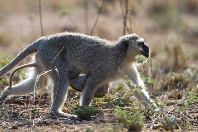 Vervet monkey and baby