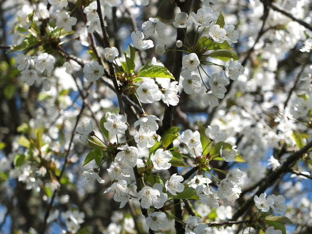 White Blossom 3 by Alison Gracie
