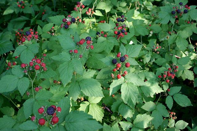 Black-cap Raspberries