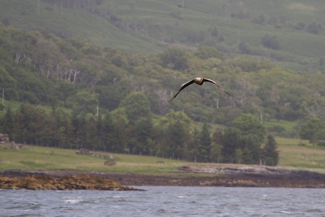 White-tailed Sea Eagle