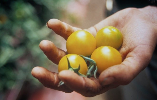 Hand of Tomatoes_ - Version 2