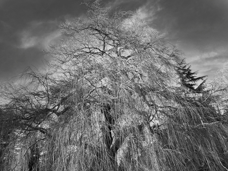 Tree-bw67.jpg