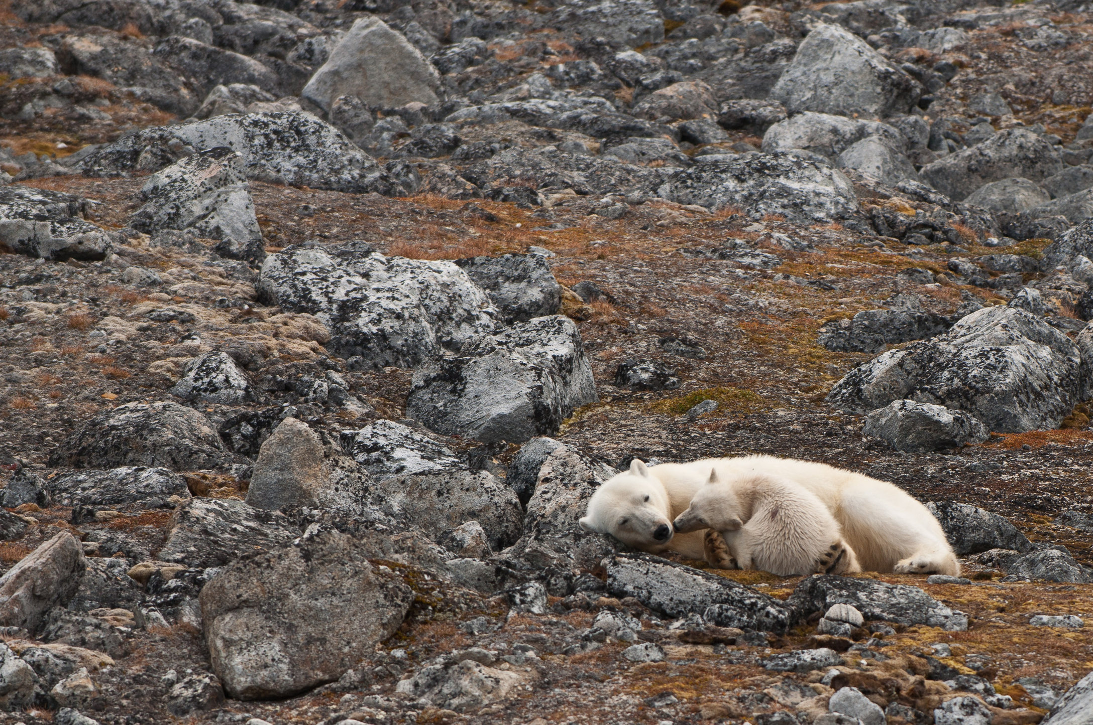 Polar Bear with Cub-Holmiabukta, Svalbard.jpg