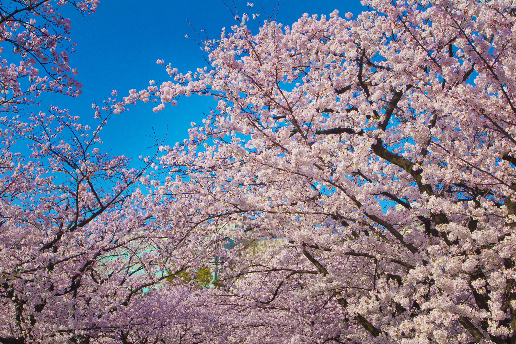 Tokyo Cherry Blossoms II