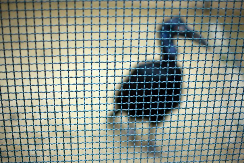 Abyssinian ground hornbill (Bucorvus abyssinicus).