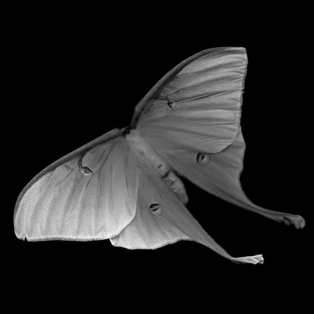 Actias Luna II (luna moth), 21st century
