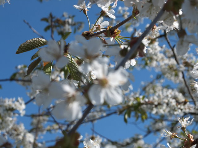 White Blossom 8 by Alison Gracie