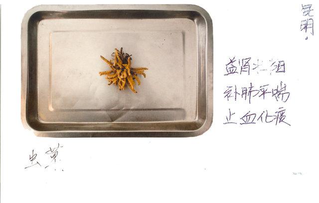Ophiocordyceps Sinensis 虫草, 冬虫夏草 Dōng chóng xià cǎo  (