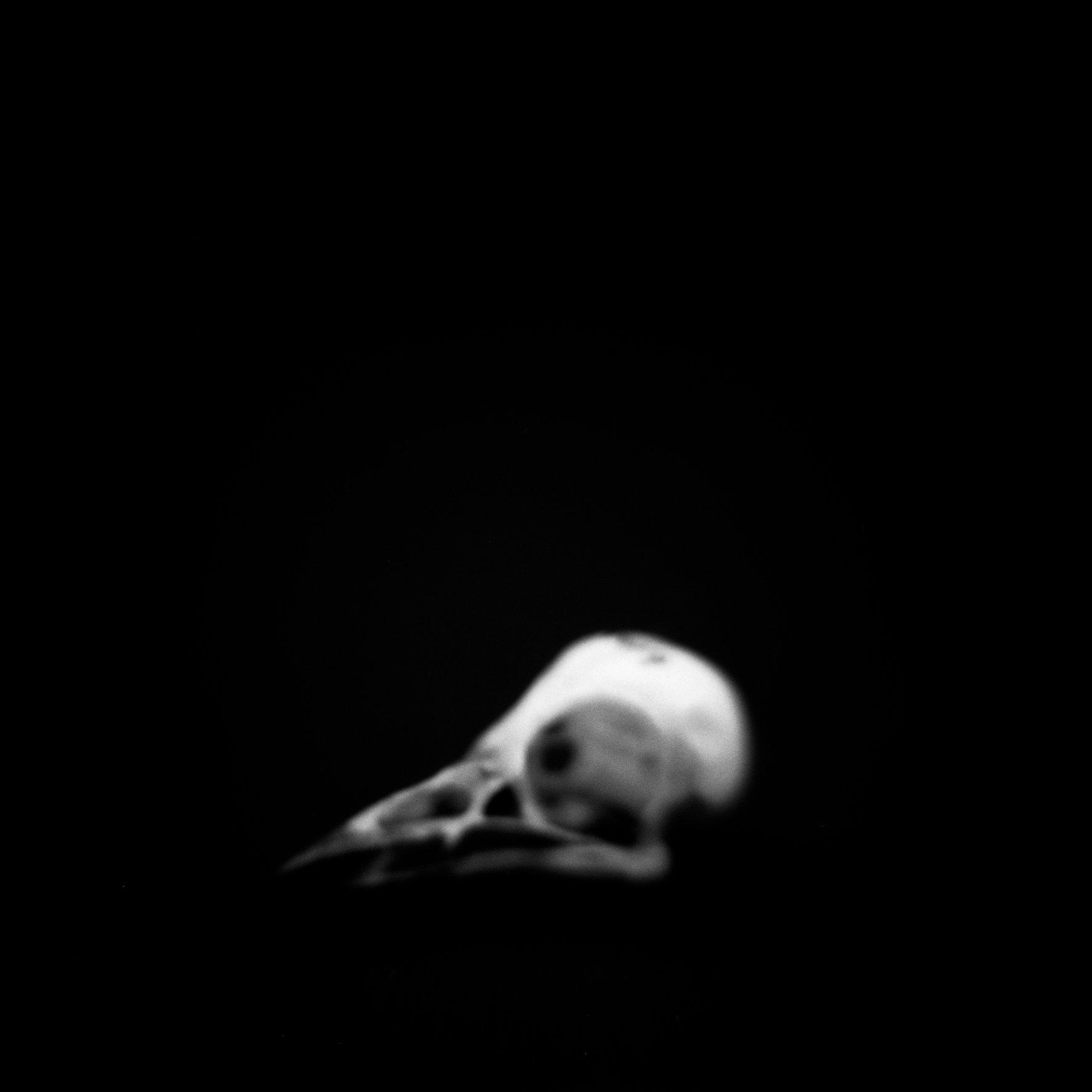 Skull, American Redstart (<i>Setophaga ruticilla</i>), Holga 120N, Ilford Delta Pro 100, 2015