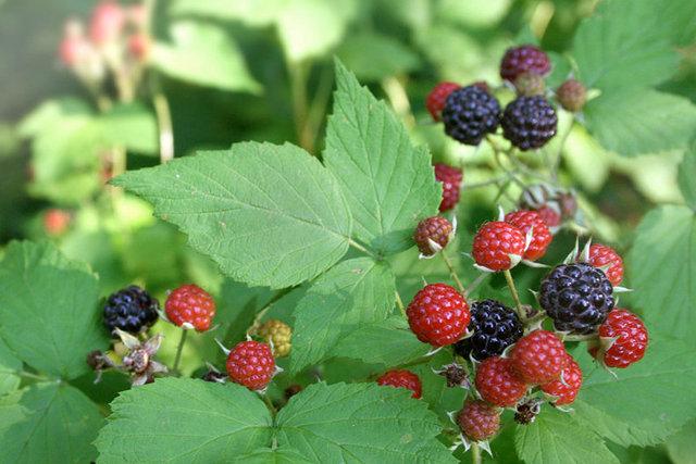 BlacknRedBerries.jpg