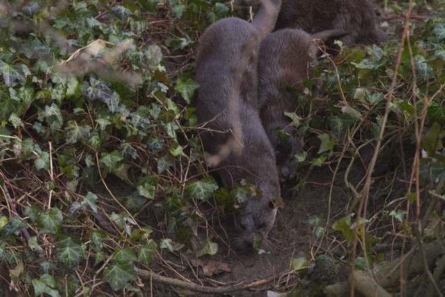 Female otter leading cub into water