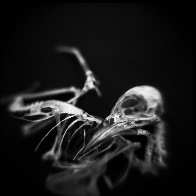 Skeleton, Worm-eating Warbler (<i>Helmitheros vermivorum</i>), Holga 120N, Ilford Delta Pro 100, 2015