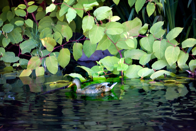 duckw40155.jpg