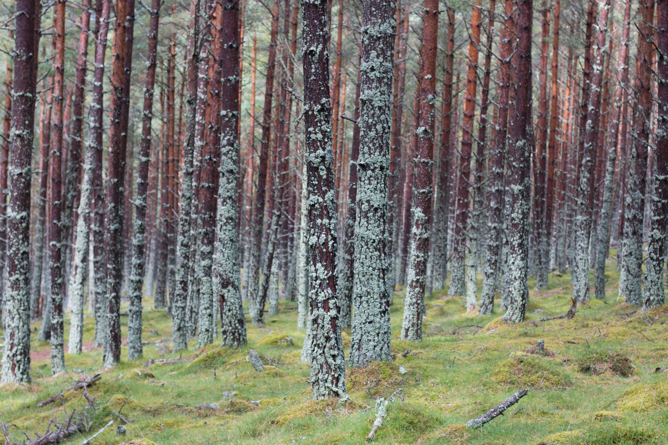 Braemar trees_6213841839_o.jpg