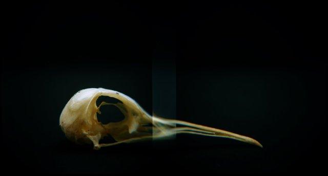 Skull, Upland Sandpiper (<i>Bartramia longicauda</i>), Holga 120N, Kodak Ektar 100, 2015