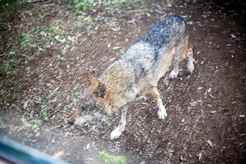 Eurasian Wolf (Canis lupus lupus).