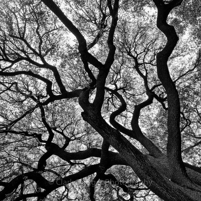 Left_tree_2_10x10_2.jpg
