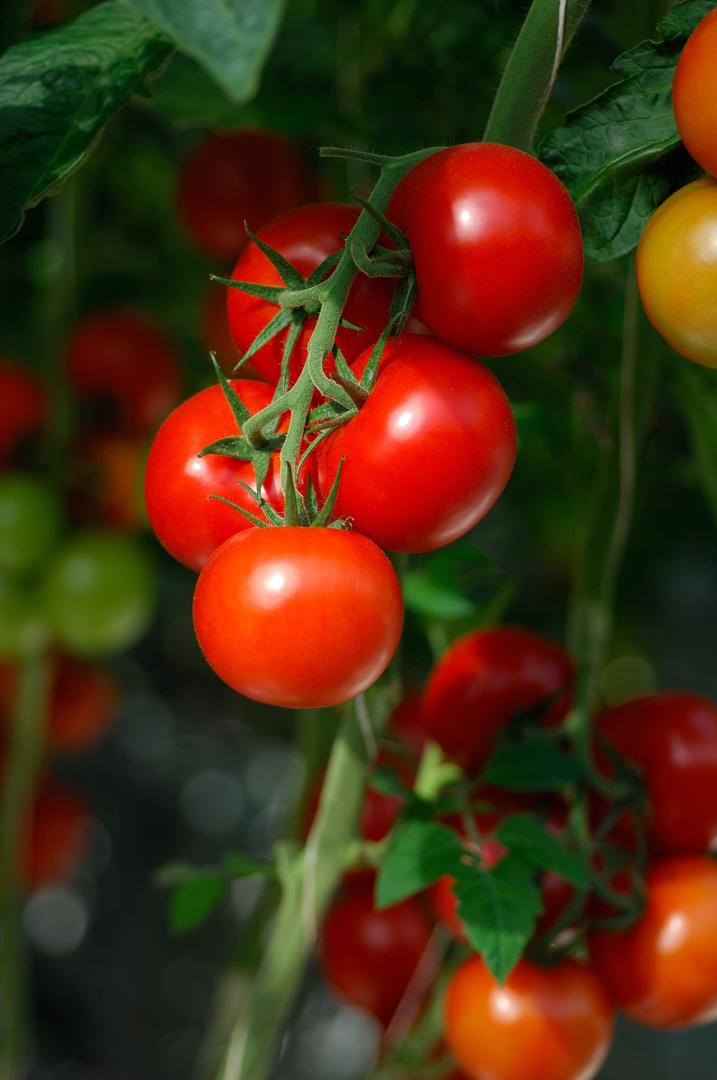 Grodan tomatoes