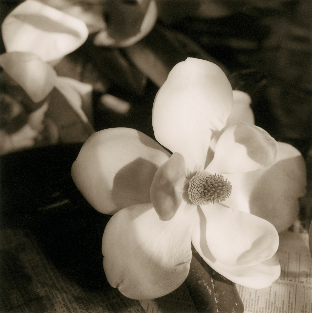 open_magnolia.jpg
