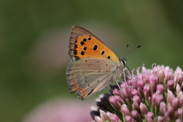 Small copper (Lycaena phlaeas)
