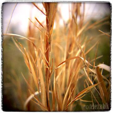 01-04-02-06 Broomsedge Grass1.jpg