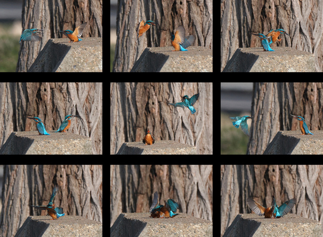Kingfisher fight sequence