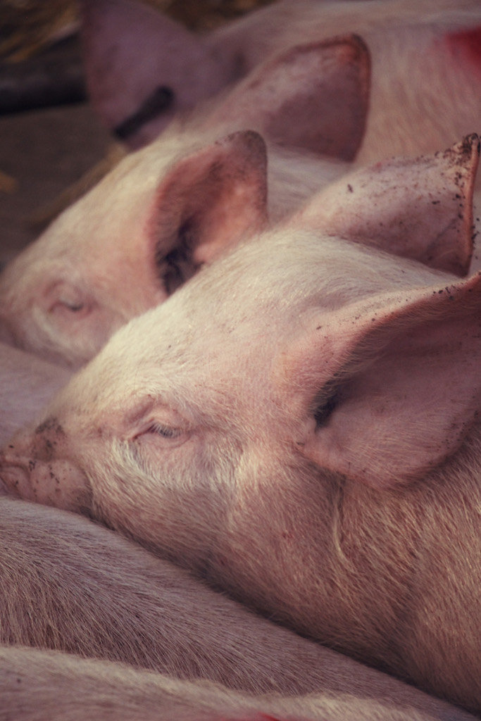 Fatstock Market Pigs, Monmouthshire Livestock Centre