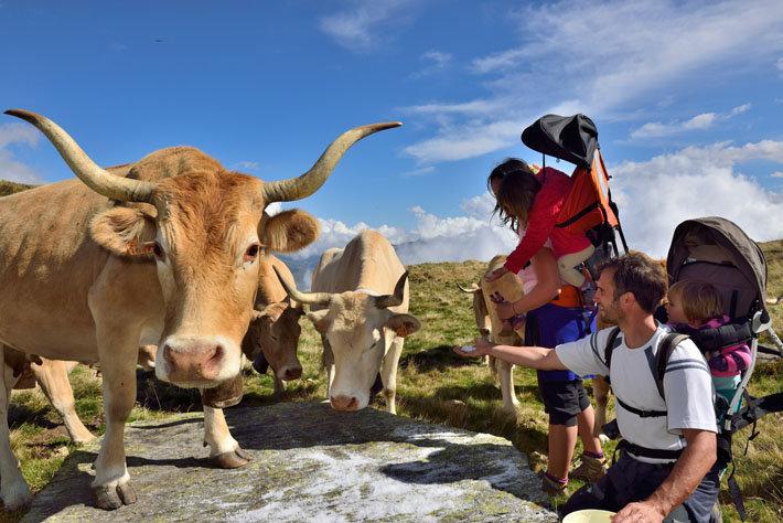 Vaches de race béarnaise en estive, en Vallée d'Ossau ‐ Pyrénées‐Atlantiques