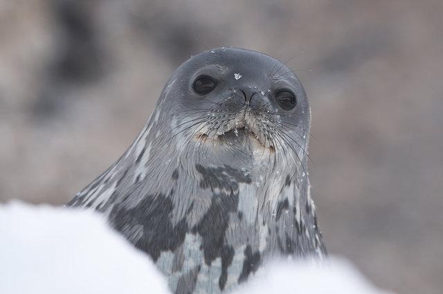 Weddell Seal-Paulet Island, Antarctica.jpg