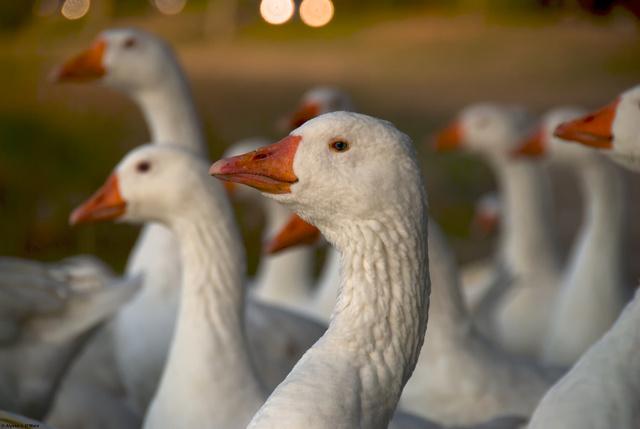 White Geese, Cambridge, MA