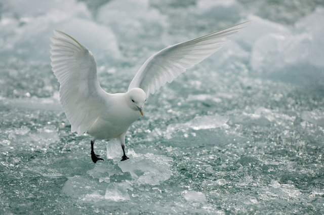 SEAGUL WALKING ON ICE.jpg