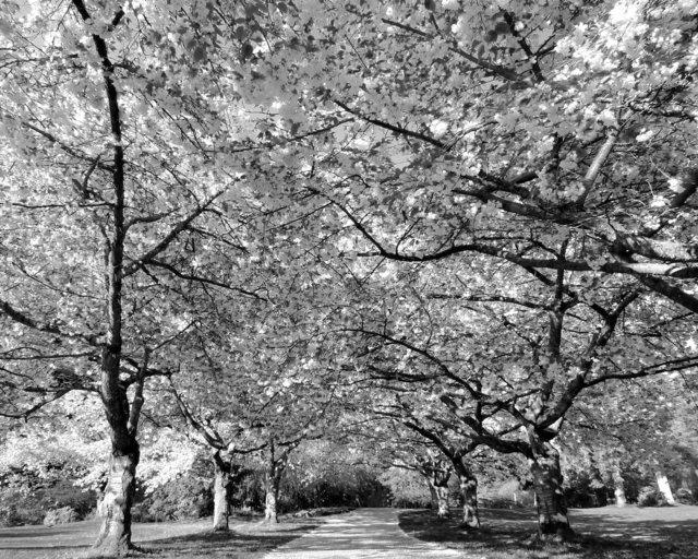 Tree-bw61.jpg