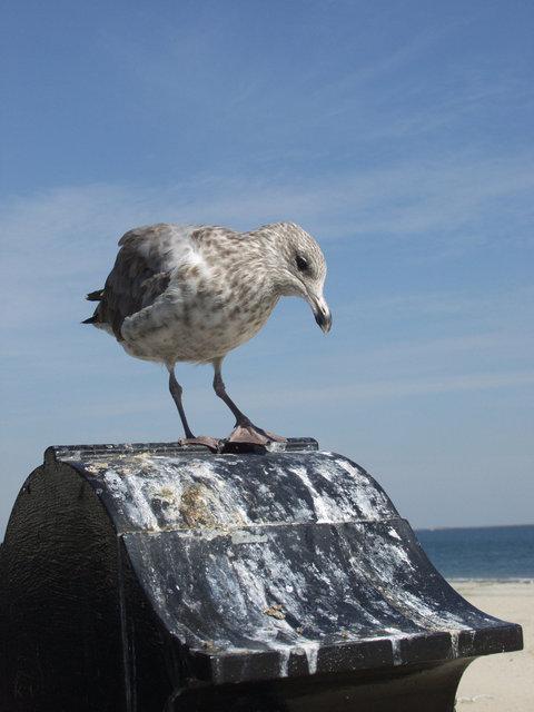 Seagull on Revere Beach